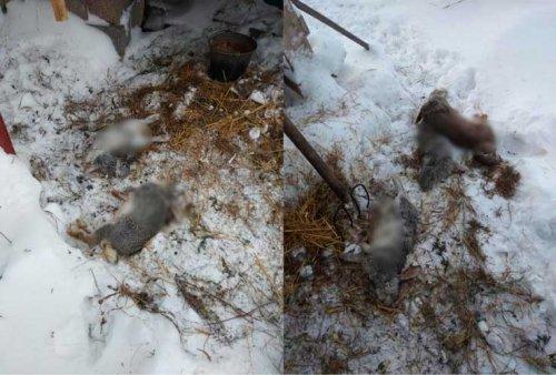В Башкирии неизвестный зверь перебил девять кроликов